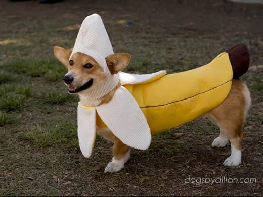cachorro com roupa de banana
