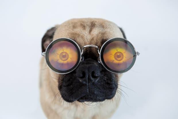 pug usando óculos